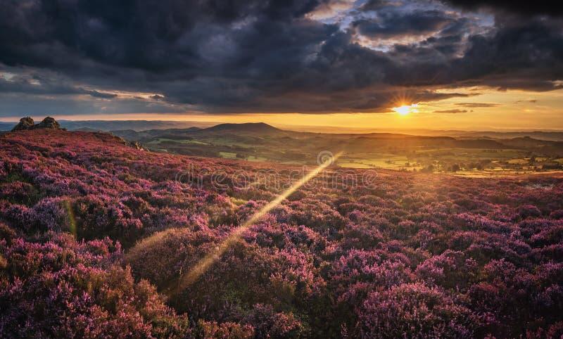 在英国山地的风景日落在开花的石南花花 库存照片