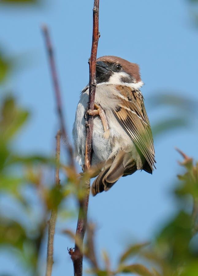 在英国的分支的树麻雀男性上流 库存照片