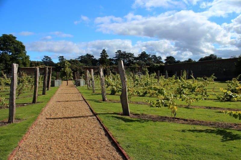 在英国被围住的庭院里面的葡萄园 图库摄影
