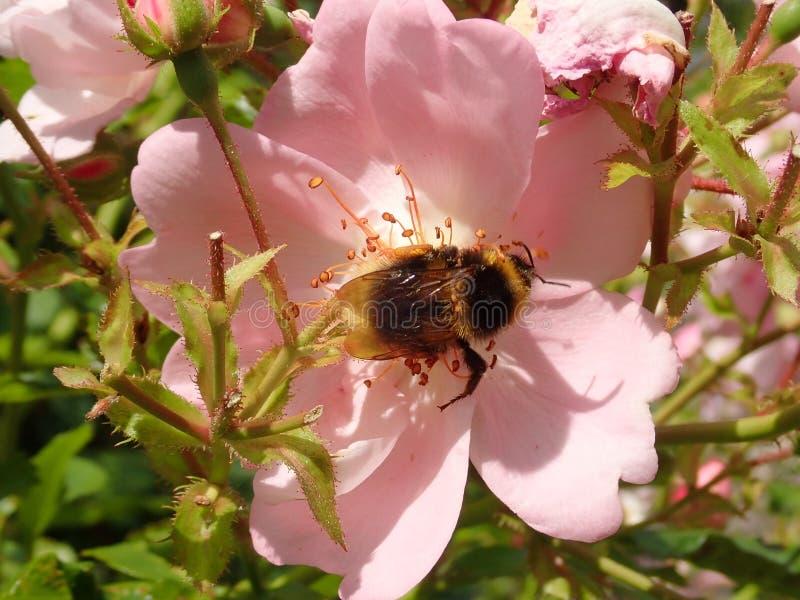 在英语罗斯的蜂 免版税库存照片