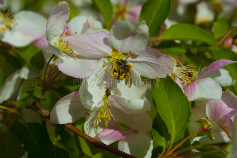 在苹果开花的蜂 免版税库存照片