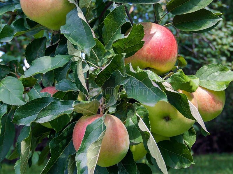 在苹果树分支的有机苹果 免版税图库摄影