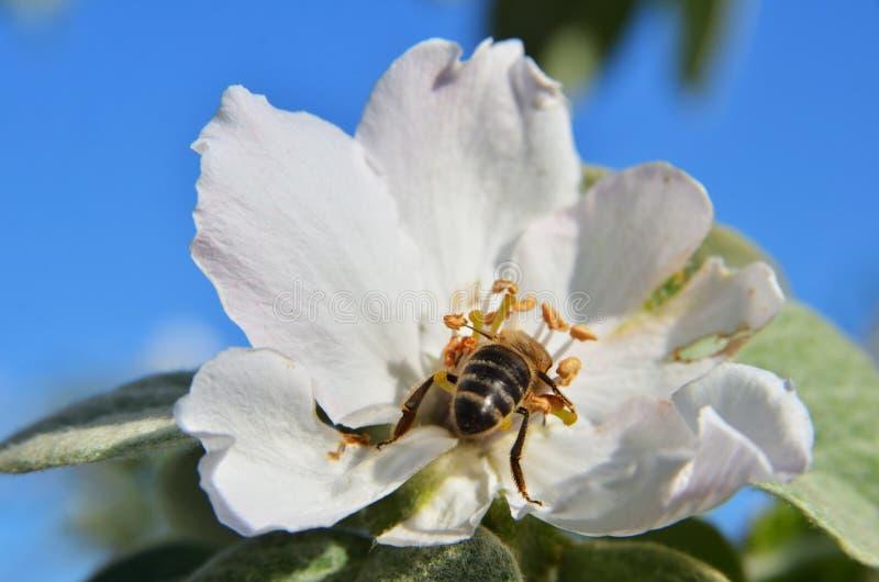 在苹果树开花的蜂 图库摄影