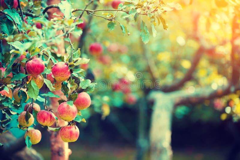 在苹果树的分支的红色成熟苹果 图库摄影