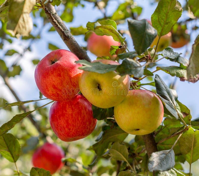 在苹果树的成熟红色,黄色苹果在庭院里 夏天收获苹果 免版税库存图片
