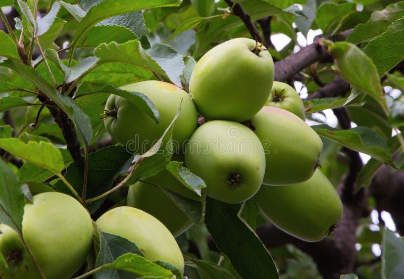 在苹果树的成熟苹果在夏天 免版税库存图片