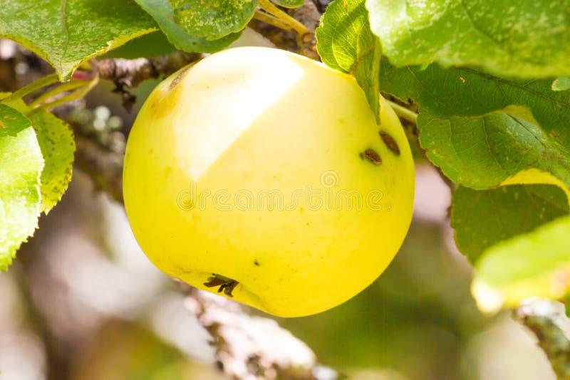 在苹果树的斑点病 植物真菌大批出没 免版税库存图片