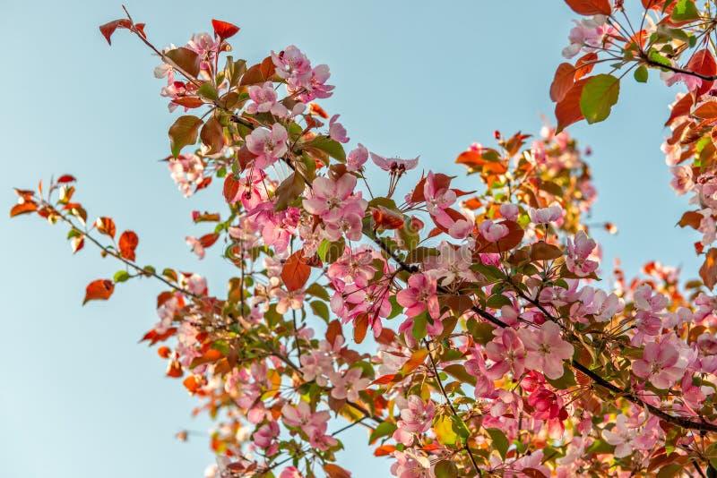 在苹果树的桃红色春天花 免版税库存照片