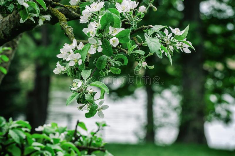 在苹果树的花 免版税库存照片