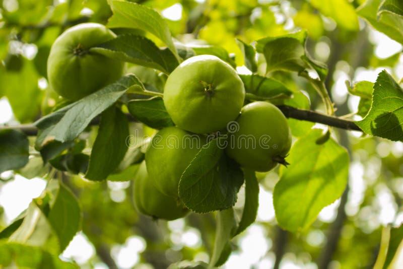 在苹果树的苹果计算机在庭院里 库存照片