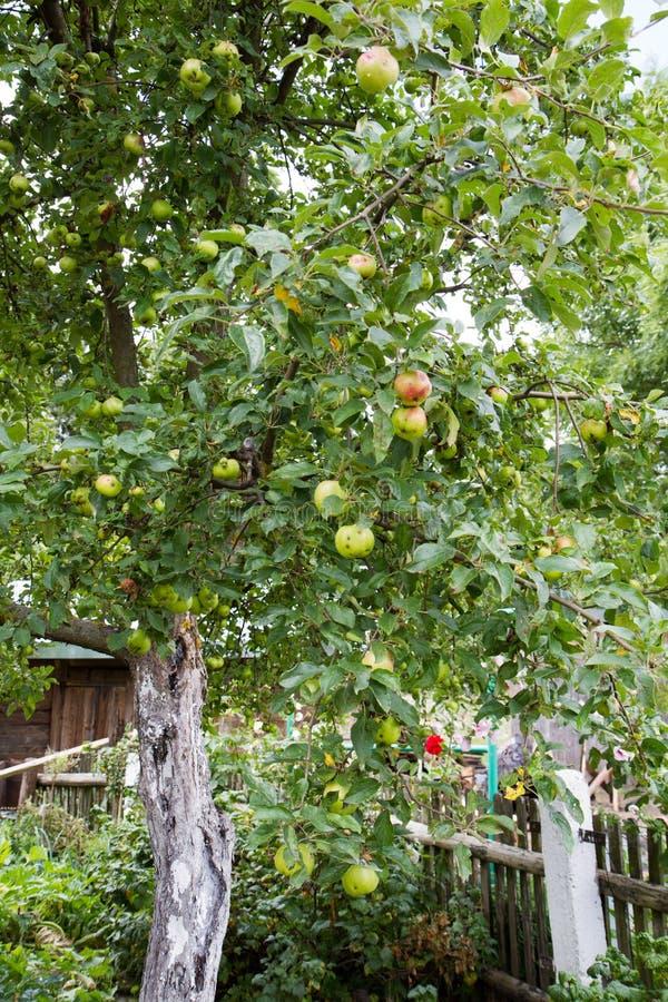在苹果树的苹果 库存照片