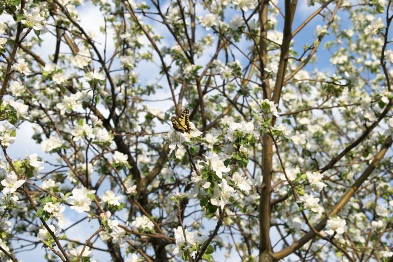 在苹果花的黄色蝴蝶 库存照片