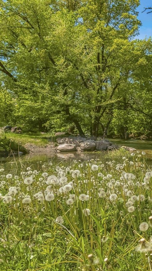 在茂盛植物围拢的小河旁边的垂直的白色蒲公英在一好日子 图库摄影