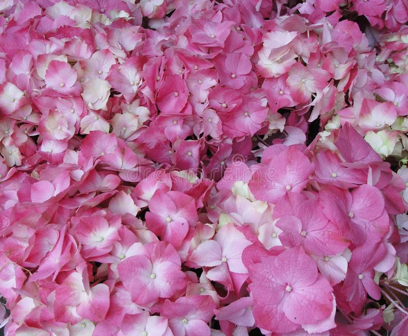 在范围从浅粉红色的颜色变异的桃红色八仙花属霍滕西亚花到紫红色的颜色 库存图片