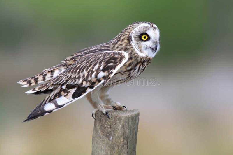 在范围过帐的短耳朵的猫头鹰 免版税库存照片