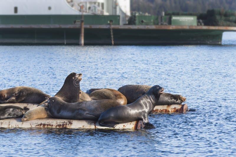 在范妮的加利福尼亚海狮咆哮,东温哥华岛, Bri 免版税图库摄影