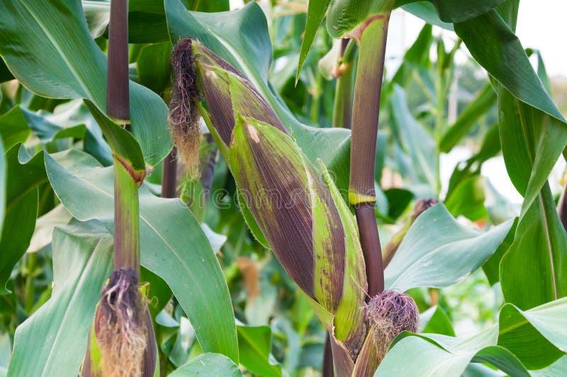 在茎的玉米棒紫色新鲜的玉米,为收获,在领域农业的紫色玉米准备 免版税库存图片