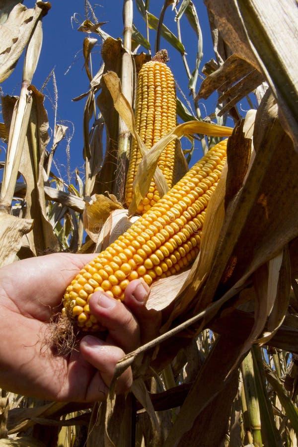 在茎的玉米 库存照片