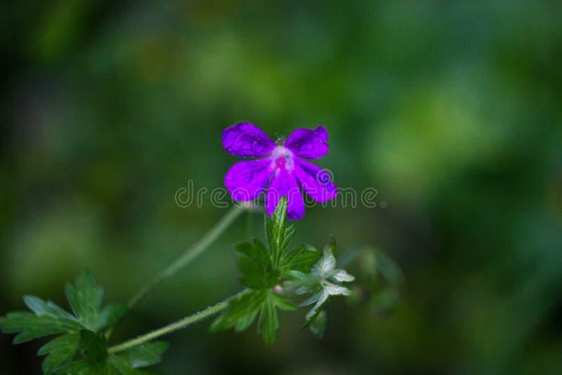 在茎的紫色花在宏指令 免版税库存照片