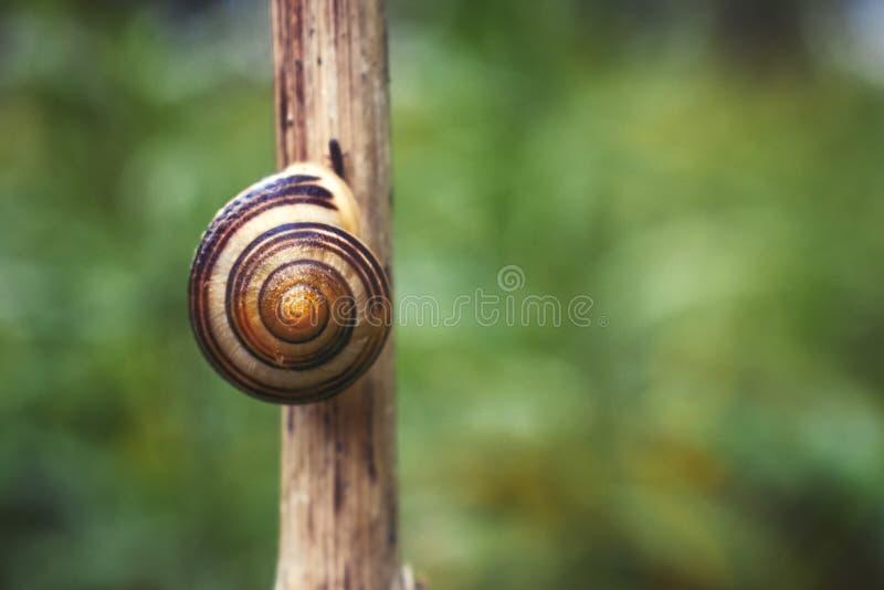 在茎的蜗牛 库存图片