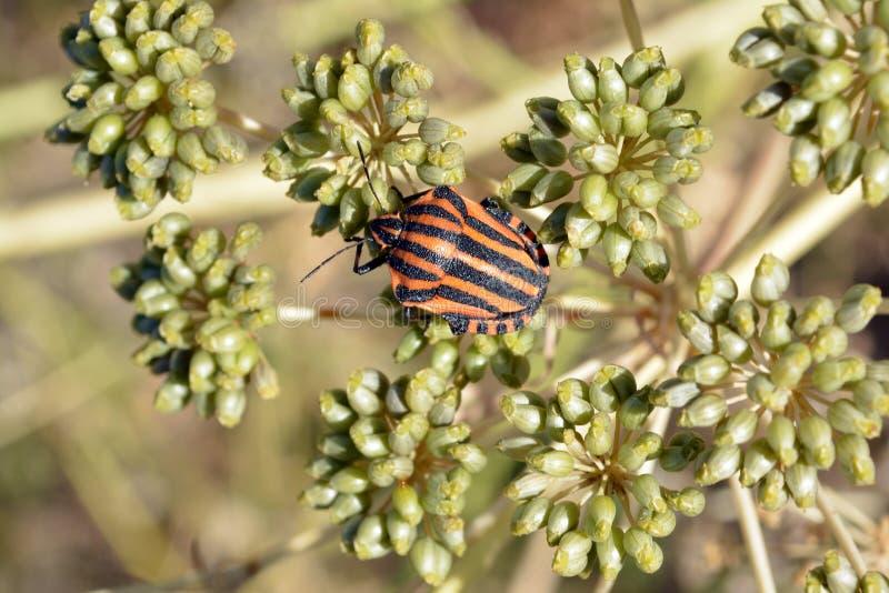 在茴香umbel的Graphosoma lineatum  免版税库存照片