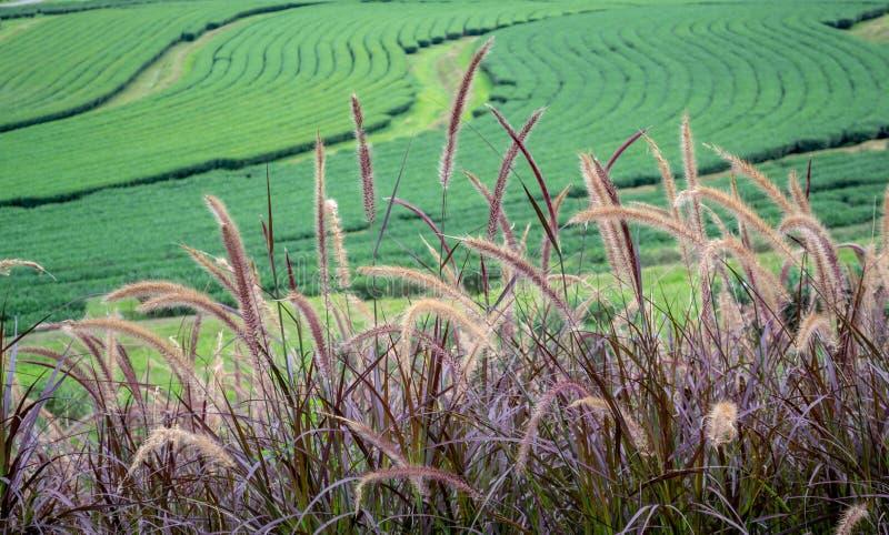在茶园背景的狼尾草Rubrum紫色喷泉草在辛哈公园 免版税库存照片