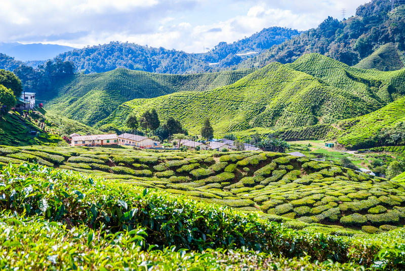 在茶园,喀麦隆高地之间的村庄 库存图片