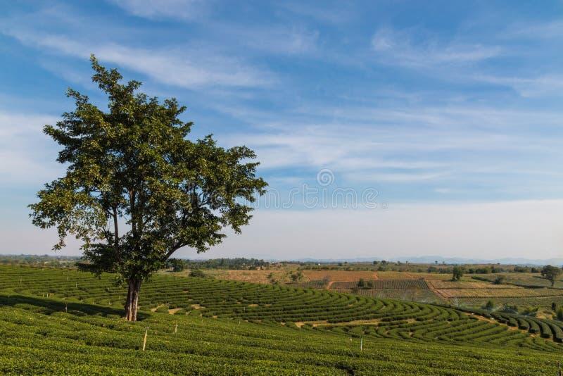 在茶领域的大树 图库摄影