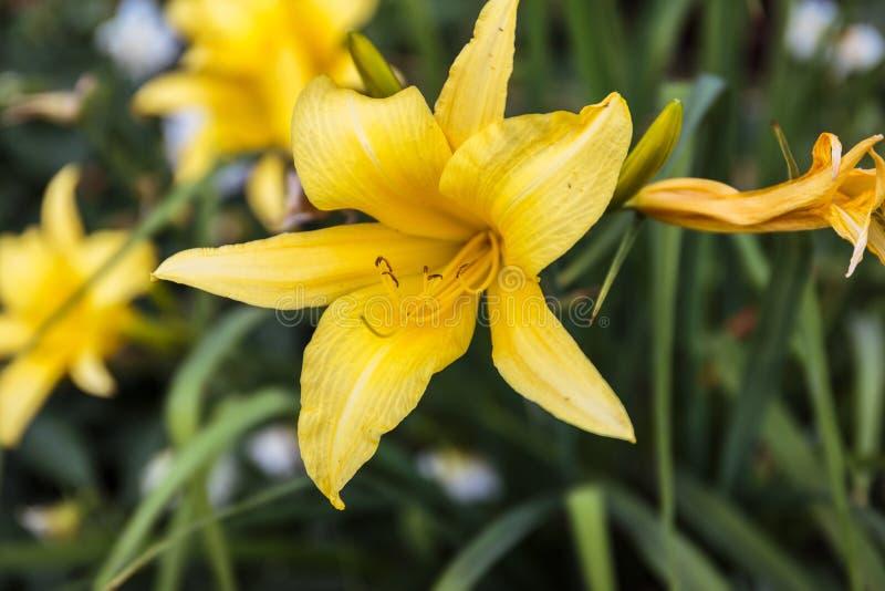 在草丛林特写镜头的黄色百合花 库存图片