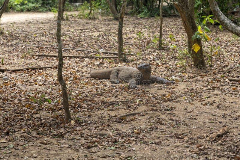 在草丛的科莫多巨蜥 免版税图库摄影