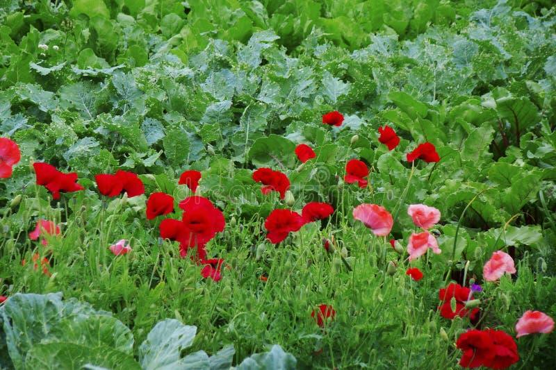 在草中丛林的红色和桃红色开花的鸦片  库存照片