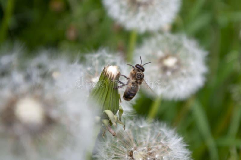 在草中的很大数量开花的蒲公英 免版税库存图片