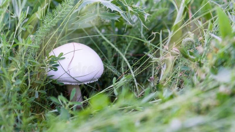 在草关闭的蘑菇 免版税库存图片