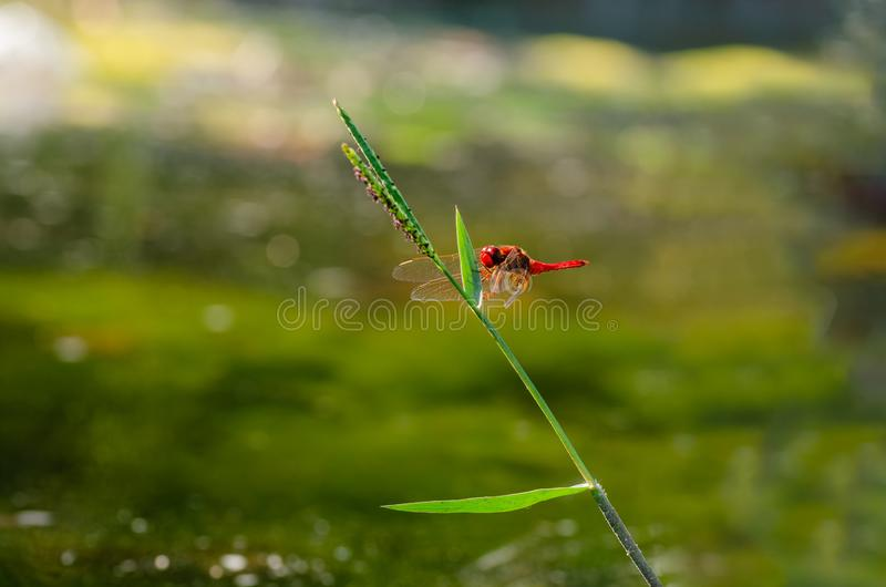 在草刀片的红色蜻蜓 图库摄影