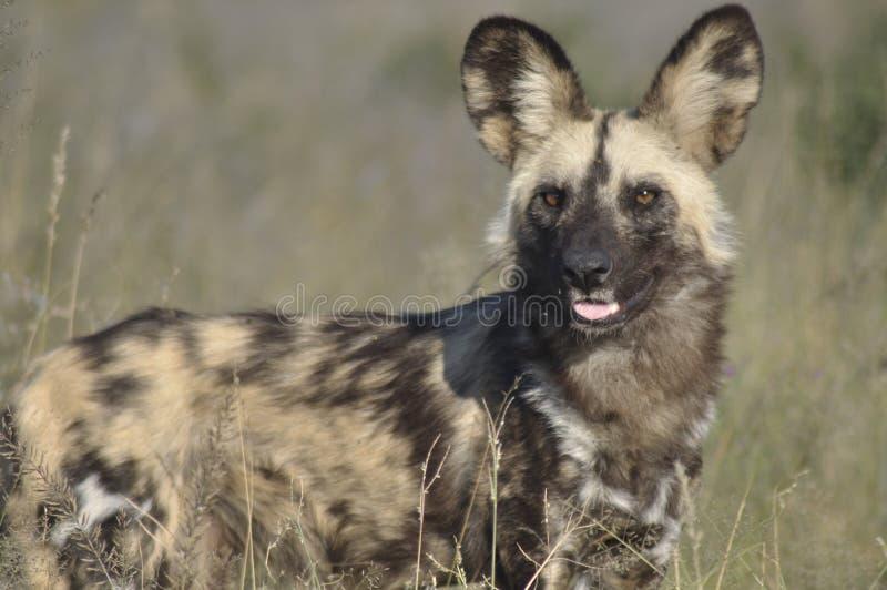 在草原徒步旅行队小屋的Wilddog储备中央Kalahar的 免版税库存图片
