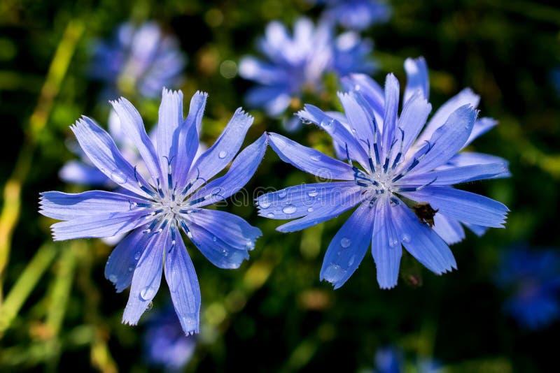 在草原的夏天增长的两朵非常美丽的蓝色花 在一下雨天以后 邀请,背景,ilustration卡片 库存图片