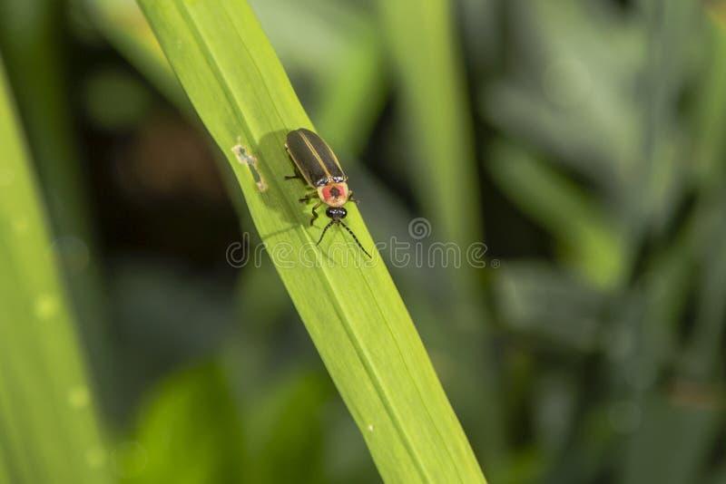 在草叶的萤火虫 库存照片