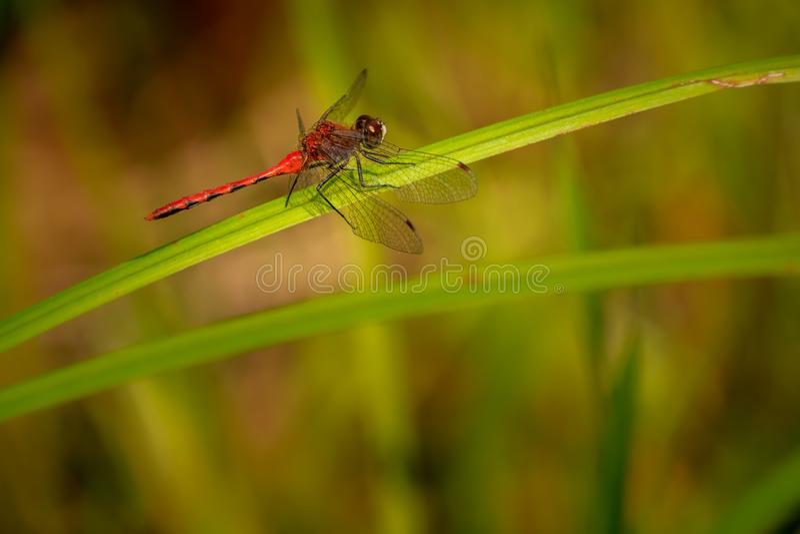 在草叶的蜻蜓 库存图片