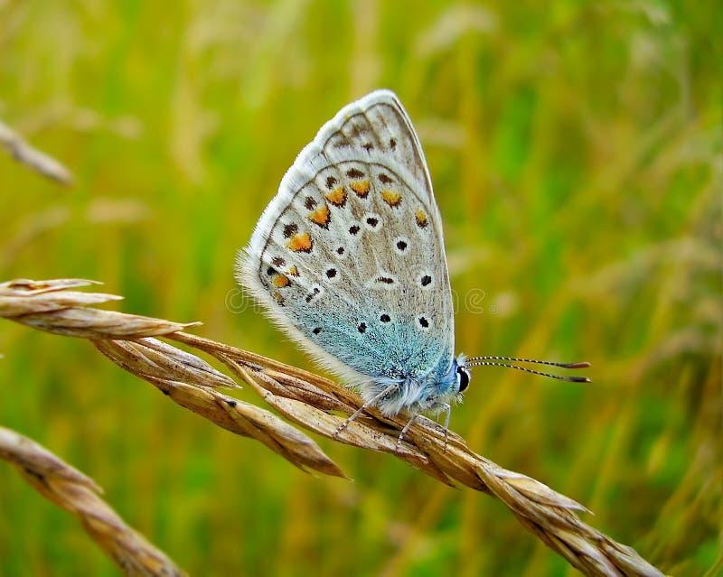在草叶的阿曼达` s蓝色蝴蝶Polyommatus amandus 免版税库存照片