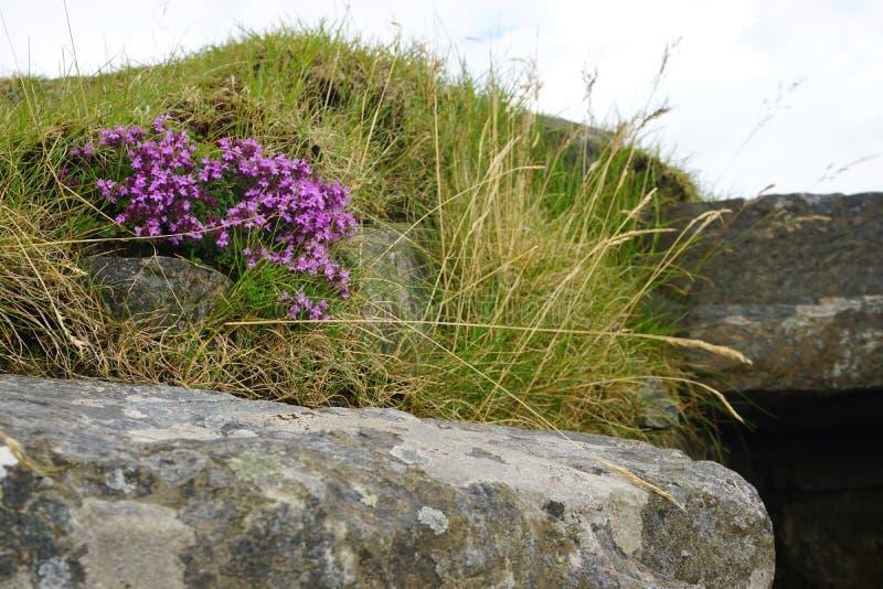 在草和古老石头中的开花的石南花 图库摄影