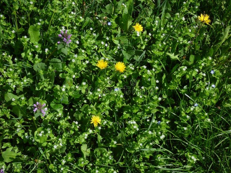 在草和叶子绿色地毯的野花  图库摄影