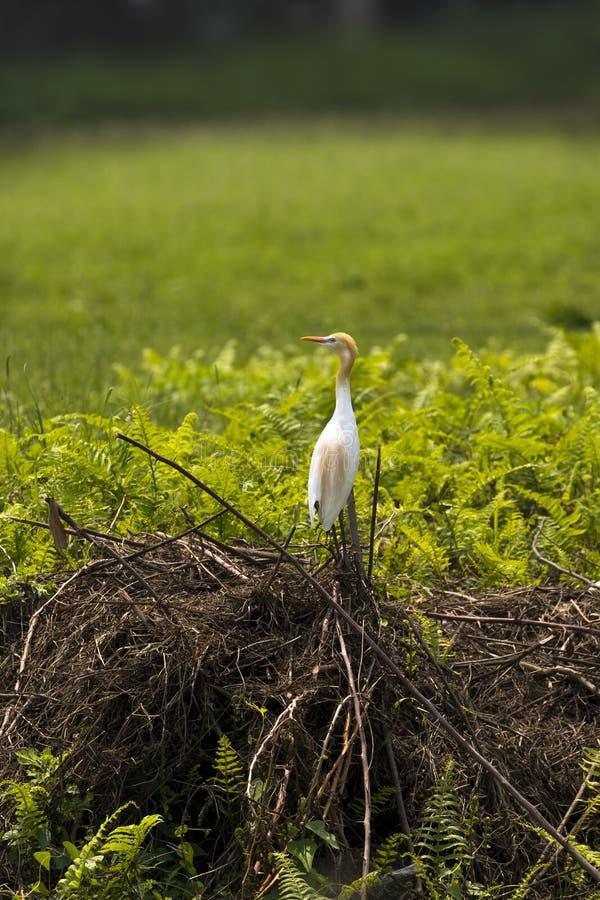 在草和灌木的一个唯一牛背鹭鸟身分 免版税库存图片