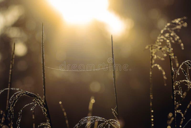 在草和网的早晨露水 日出背景 在日出,关闭的露滴 免版税库存图片