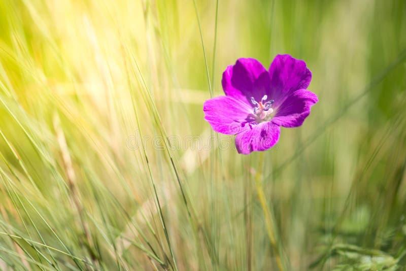 在草和阳光的大竺葵紫色颜色 美好的野生大竺葵有选择性的软的焦点 免版税图库摄影