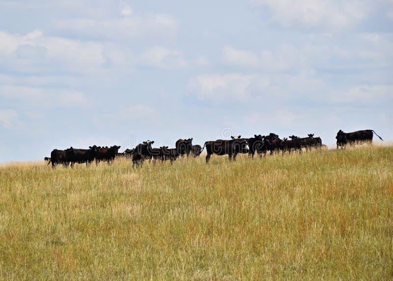 在草地的牛我 库存照片