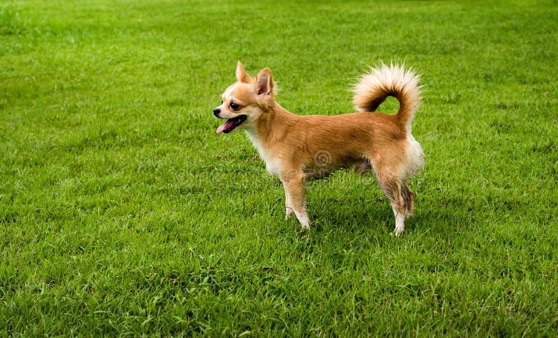 在草坪的奇瓦瓦狗狗在雨以后 库存照片