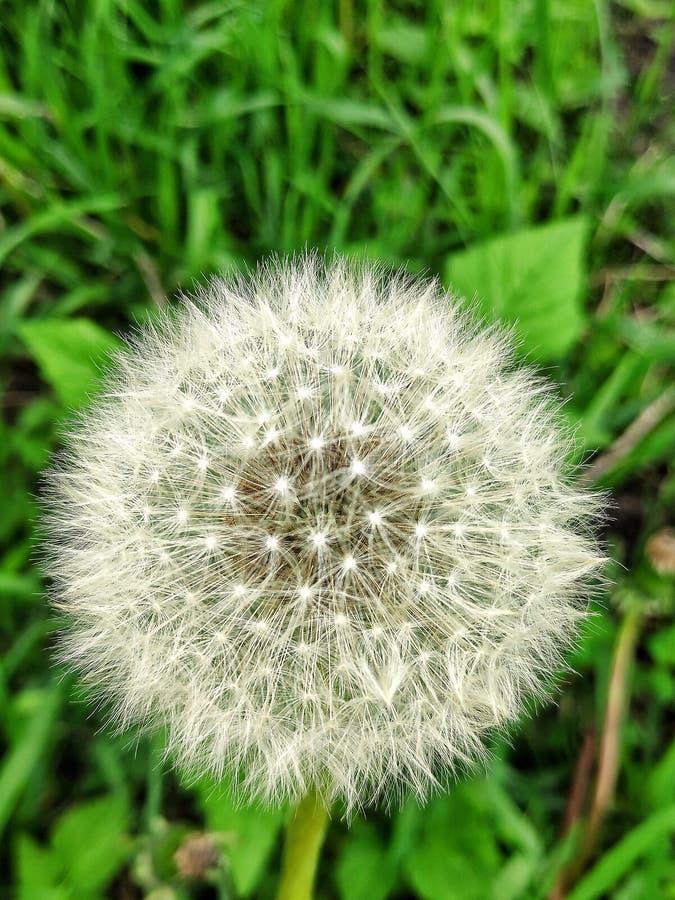 在草坪的蒲公英 免版税库存照片