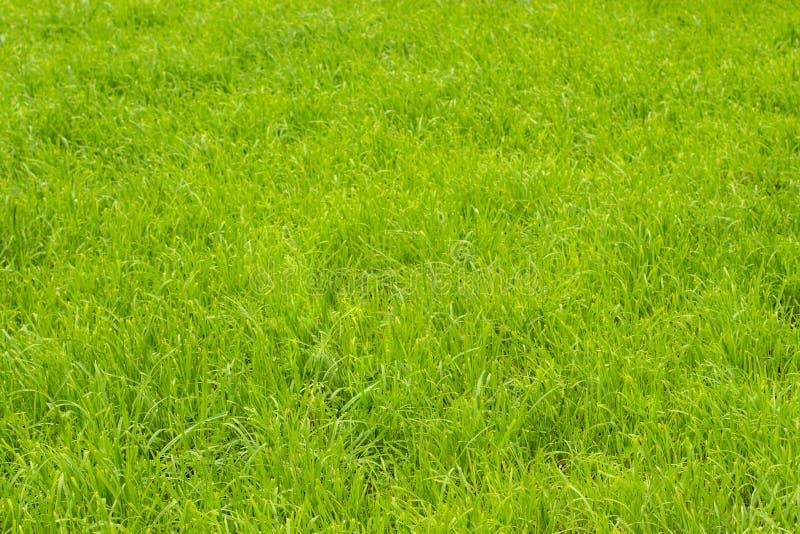 在草坪的鲜绿色的草,背景墙纸纹理横幅 草坪草,没有人 库存照片