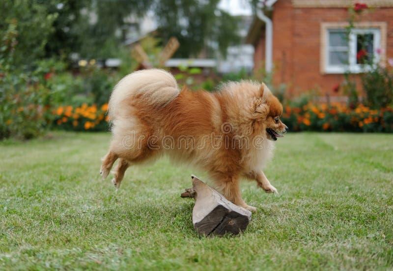 在草坪的Pomeranian在房子附近 图库摄影