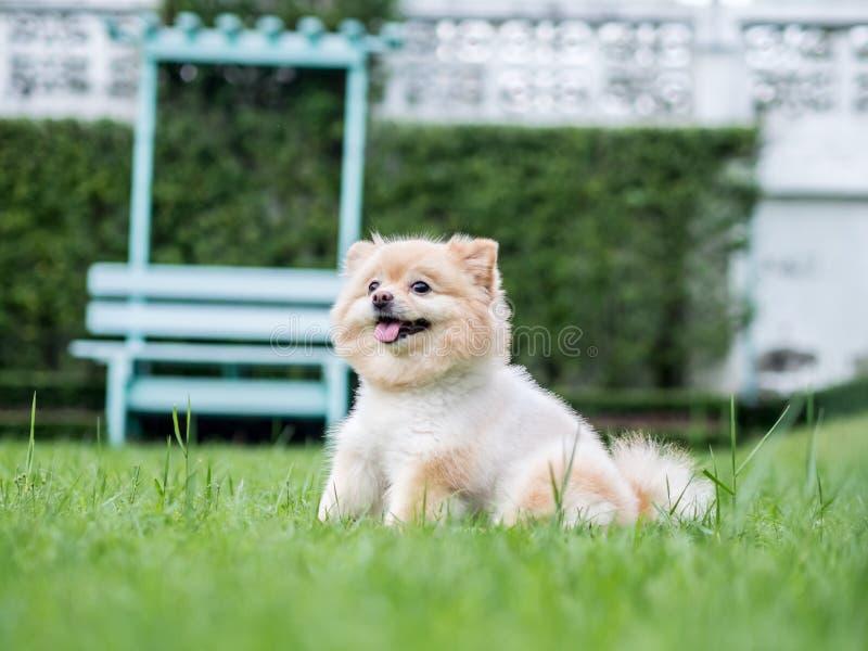 在草坪的Pomeranian狗 库存照片